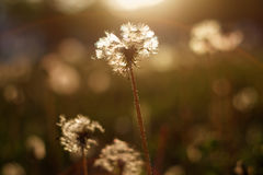 Dandelion w słońcu Zdjęcie Royalty Free