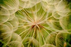 Dandelion w szczególe obrazy royalty free