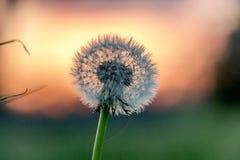 Dandelion w szorstkim zdjęcie royalty free