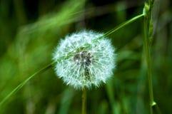 Dandelion w trawie Obrazy Stock