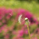 Dandelion w wiatrze Obrazy Stock