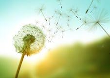 Dandelion w wiatrze Zdjęcie Royalty Free