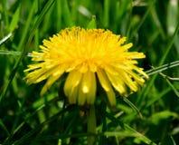 Dandelion w wiosny świetle słonecznym zdjęcia stock