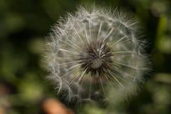 Dandelion w zielonej trawie fotografia stock