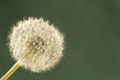 Dandelion Waiting For The Wind Stock Images