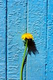 Dandelion by wall Stock Image