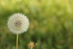Dandelion Wallpaper HD Royalty Free Stock Photography