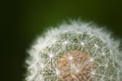Dandelion with water droplets closeup Stock Image