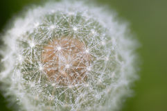 Dandelion with water droplets closeup Royalty Free Stock Image