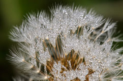 Dandelion with Water Droplets stock photo