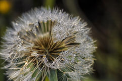 Dandelion with water drops Stock Image