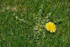 Dandelion weed in lawn Royalty Free Stock Image