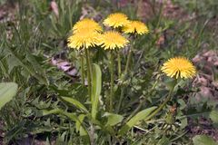 Dandelion Weeds. Pesky Yellow Dandelion Weeds - live and growing in garden royalty free stock images