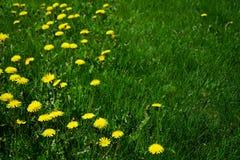 Dandelion Weeds Stock Photos
