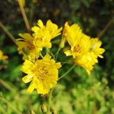 Dandelion Weeds. Pesky Yellow Dandelion Weeds - live and growing in garden stock photos