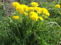 Dandelion Weeds 2. Photographed in Yakutia-Vilyuysk district royalty free stock photo