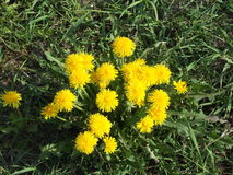 Dandelion Weeds 5. Photographed in Yakutia-Vilyuysk district royalty free stock photos