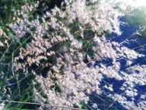 Dandelion weeds. Under morning shine royalty free stock photos