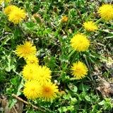 Dandelion weeds. Yellow dandelions on green grass stock photo