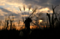 Dandelion wet from morning dew during sunrise. Slovakia Stock Photography