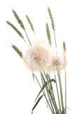 Dandelion and wheat. Stock Photo
