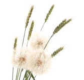 Dandelion and wheat. Royalty Free Stock Photo