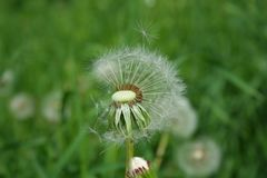 Dandelion on which the fuzz has clung Stock Images