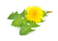 Dandelion whit leafs. Isolated on white royalty free stock image