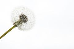 Dandelion on white Stock Photos