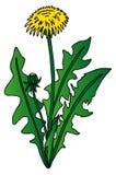 Dandelion on white background. Vector illustration Stock Photos