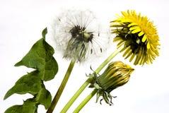 Dandelion on white background stock photography
