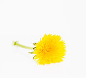 Dandelion. A Dandelion on white background royalty free stock images