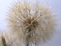 Dandelion on white background Royalty Free Stock Image