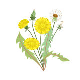 Dandelion  on white background. Dandelion flower with leaves on a white background. Vector illustration Stock Photos