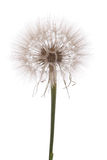 Dandelion on white background Royalty Free Stock Photo