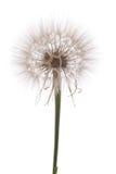 Dandelion on white background Royalty Free Stock Photo