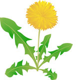 Dandelion on a white background, a medical plant, Royalty Free Stock Image