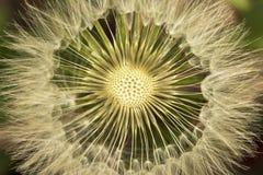 Dandelion white blowball seeds - taraxacum asteraceae. Dandelion white blowball that lost some seeds - taraxacum asteraceae Royalty Free Stock Images