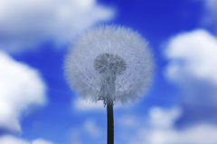 Dandelion white on blue background. The Dandelion white on blue background Royalty Free Stock Photo