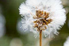 Dandelion in white Stock Photo