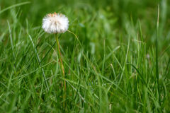 Dandelion white flower fluffy close-up Royalty Free Stock Photography