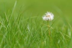 Dandelion white flower fluffy close-up Stock Images
