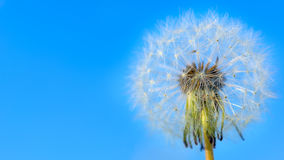 Dandelion white globular head of seeds on the blue sky backgroun Royalty Free Stock Photos