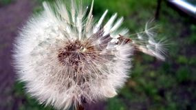 Dandelion. White, Dandelion, grass, nature color, dew, flower, spring, bright, green, summer, fresh, macro royalty free stock photo