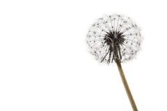Dandelion on white Stock Images