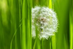 Dandelion in the grass macro Royalty Free Stock Photography