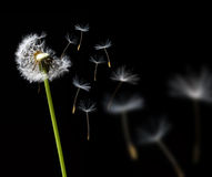 dandelion wiatr Zdjęcia Royalty Free