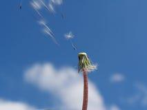 Dandelion wiatr Zdjęcie Royalty Free