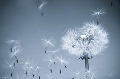 dandelion wiatr obrazy stock