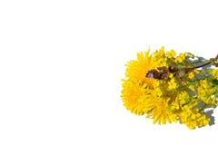 Dandelion wich grass. Dandelion wich grass flower Stock Photos